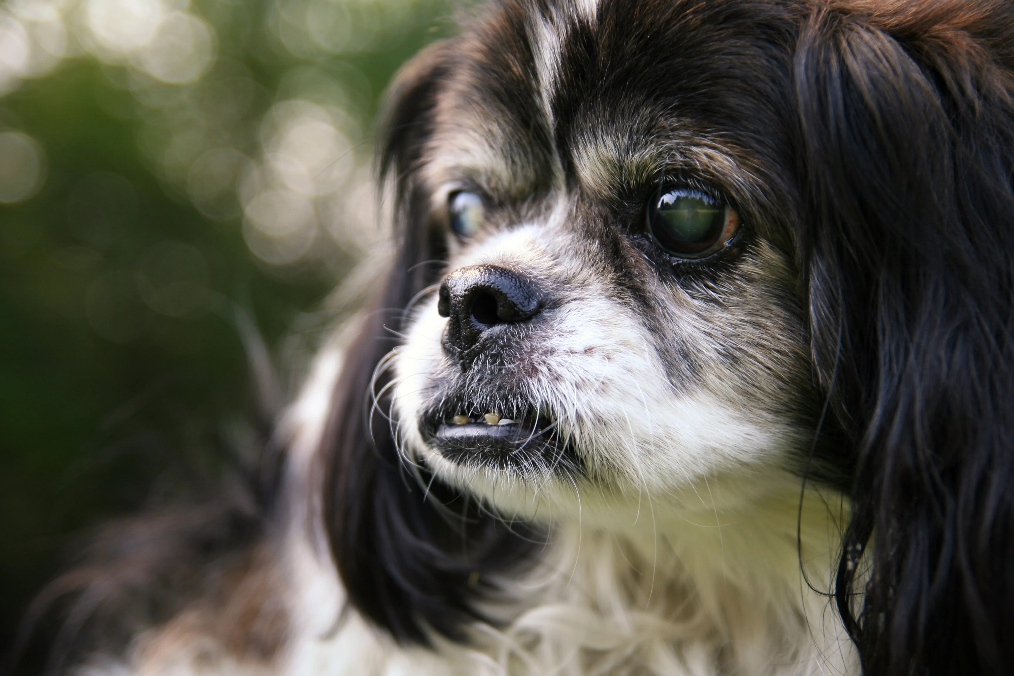 medium resolution of an older dog with cloudy eyes