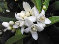 Bilderesultat for neroli flowers