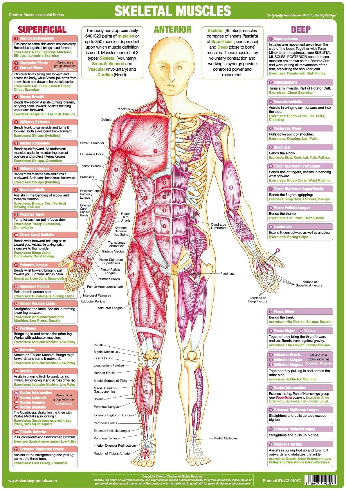 human skeleton and muscles diagram 1990 honda accord radio wiring muscle anatomy chart anterior  chartex ltd