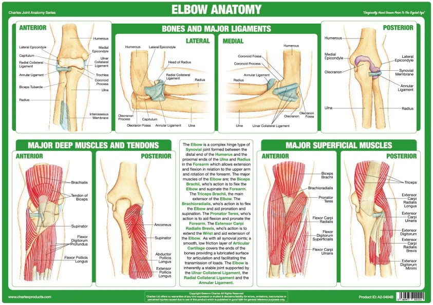 Chartex - Elbow Joint Anatomy Chart