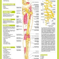 Lower Leg Nerve Diagram 2002 Dodge Stratus Wiring Limb Anatomy Chart Posterior  Chartex Ltd