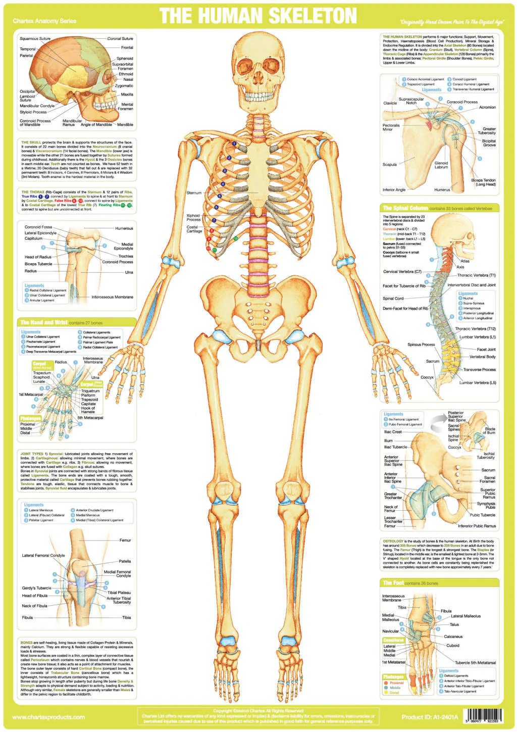 small resolution of spine diagram chart