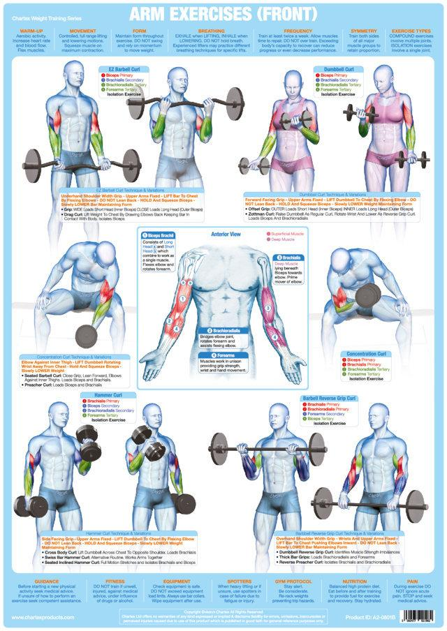 Biceps exercises weight training chart also  chartex ltd rh chartexproducts