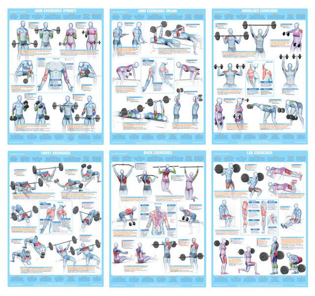 Chest muscles exercise weight training chart also  chartex ltd rh chartexproducts
