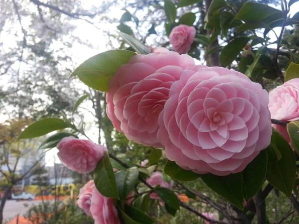 camellia japonica seeds 15