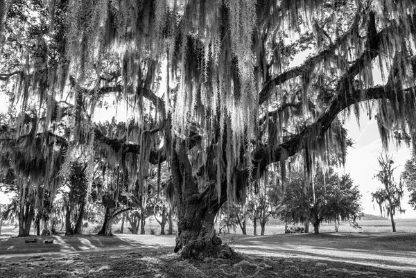 Morning Sunlight in Spanish Moss on a Big Oak Tree IMG