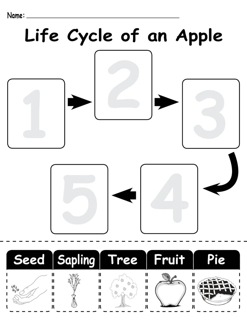 small resolution of Life Cycle of an Apple\ Printable Worksheet – SupplyMe