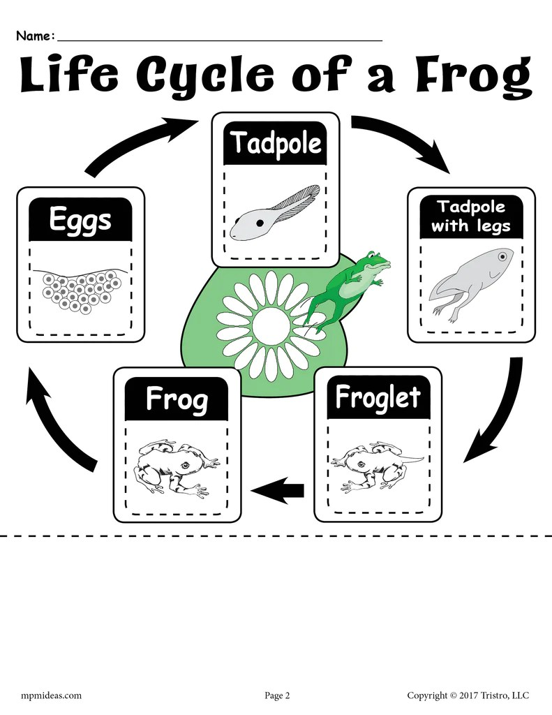 hight resolution of Life Cycle of a Frog\ Printable Worksheet – SupplyMe