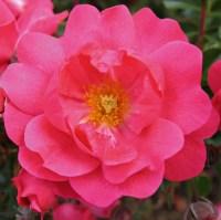Flower Carpet Rose Pink Supreme  Easy To Grow Bulbs