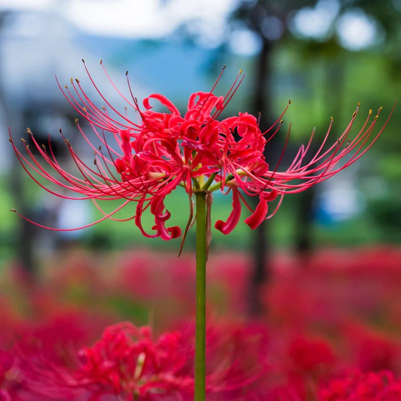 Fall Deer Wallpaper Red Lycoris Radiata Red Surprise Lily Red Magic Lily