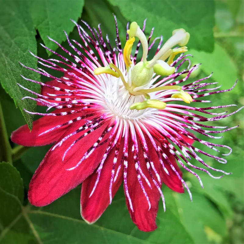 Passion Flower Pura Vida Red Red Passiflora Vine Pura
