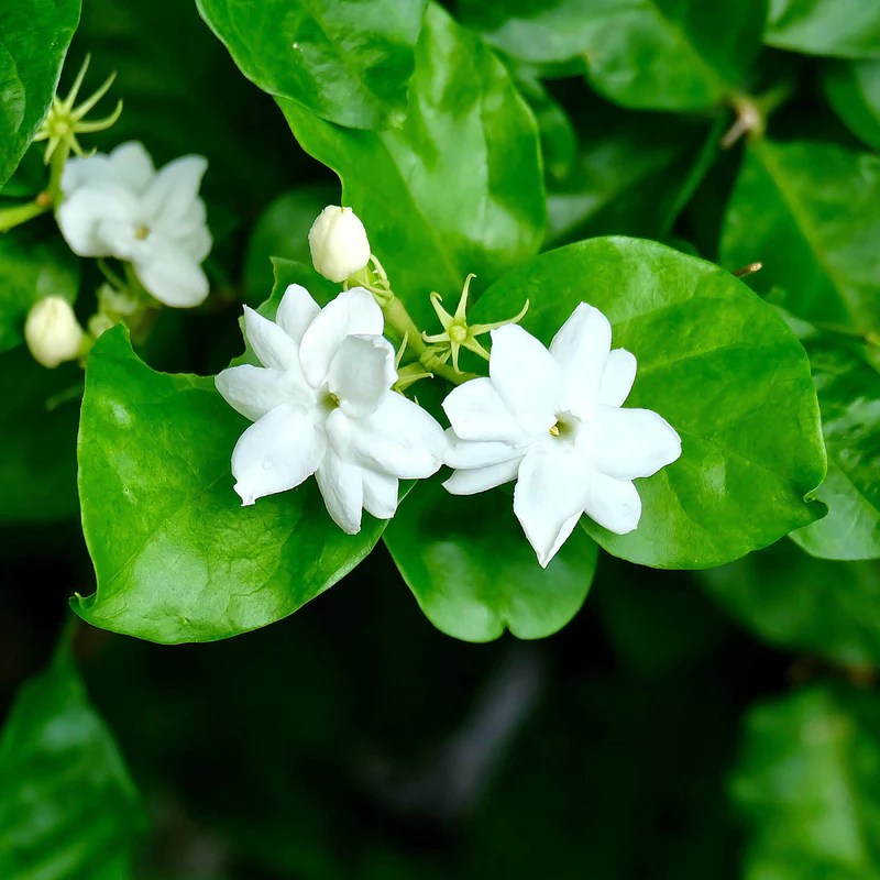 Philippine Jasmine Fragrant Sambac Easy