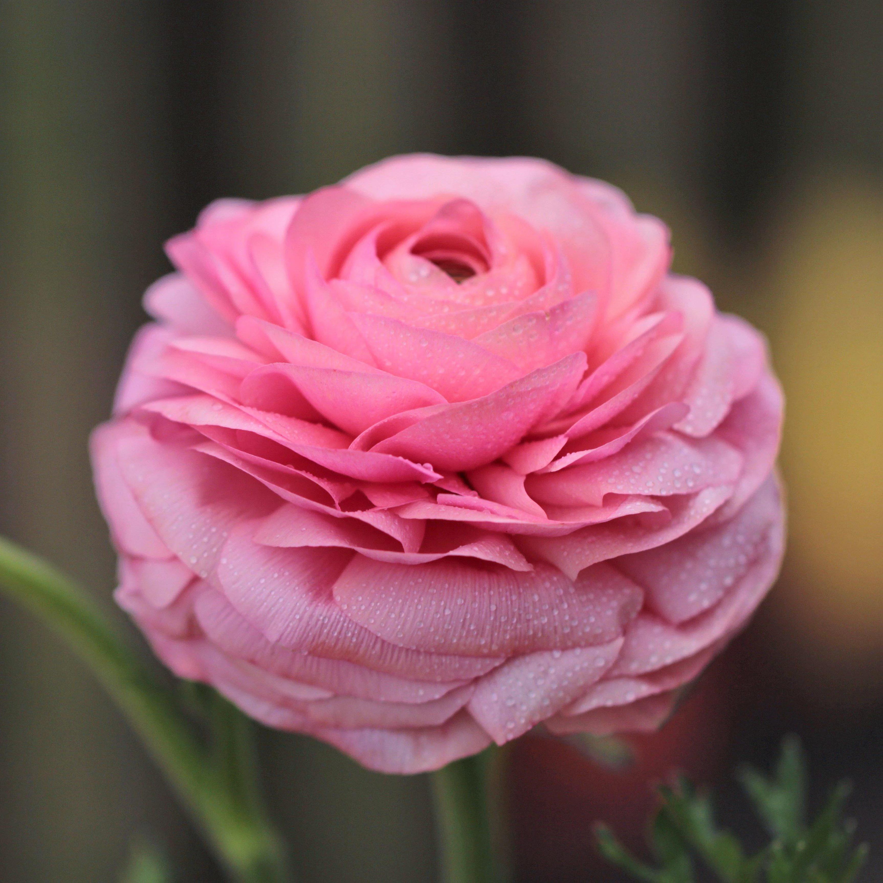 Pink Ranunculus Bulbs for Sale  Easy To Grow Bulbs