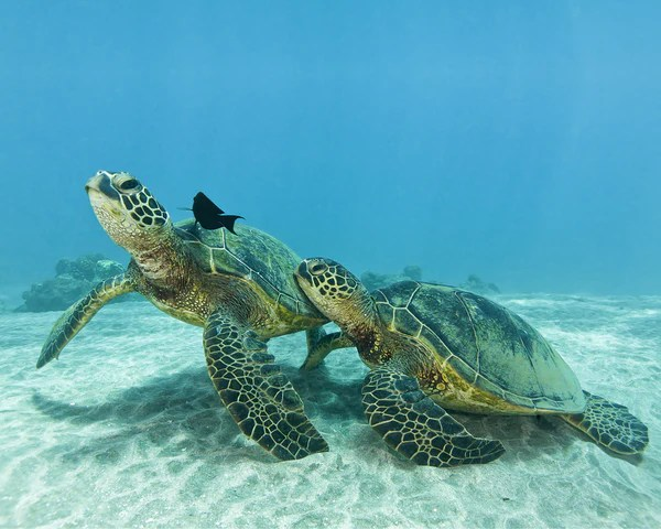 Cute Sea Turtle Wallpaper Turtles Cesere Brothers