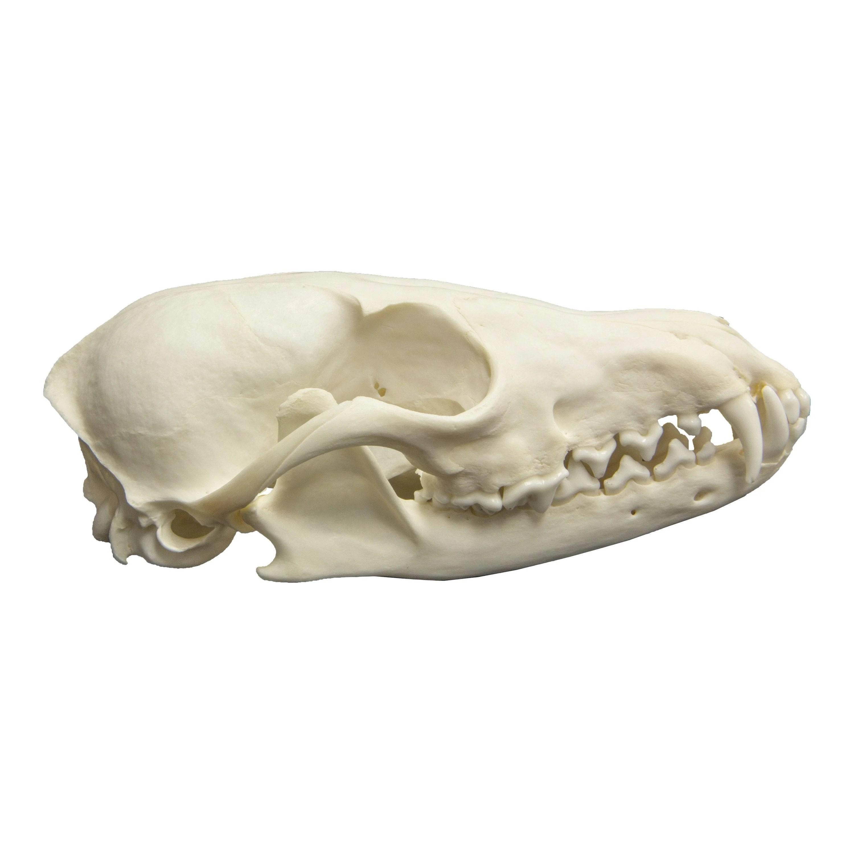 hight resolution of real red fox skull real red fox skull