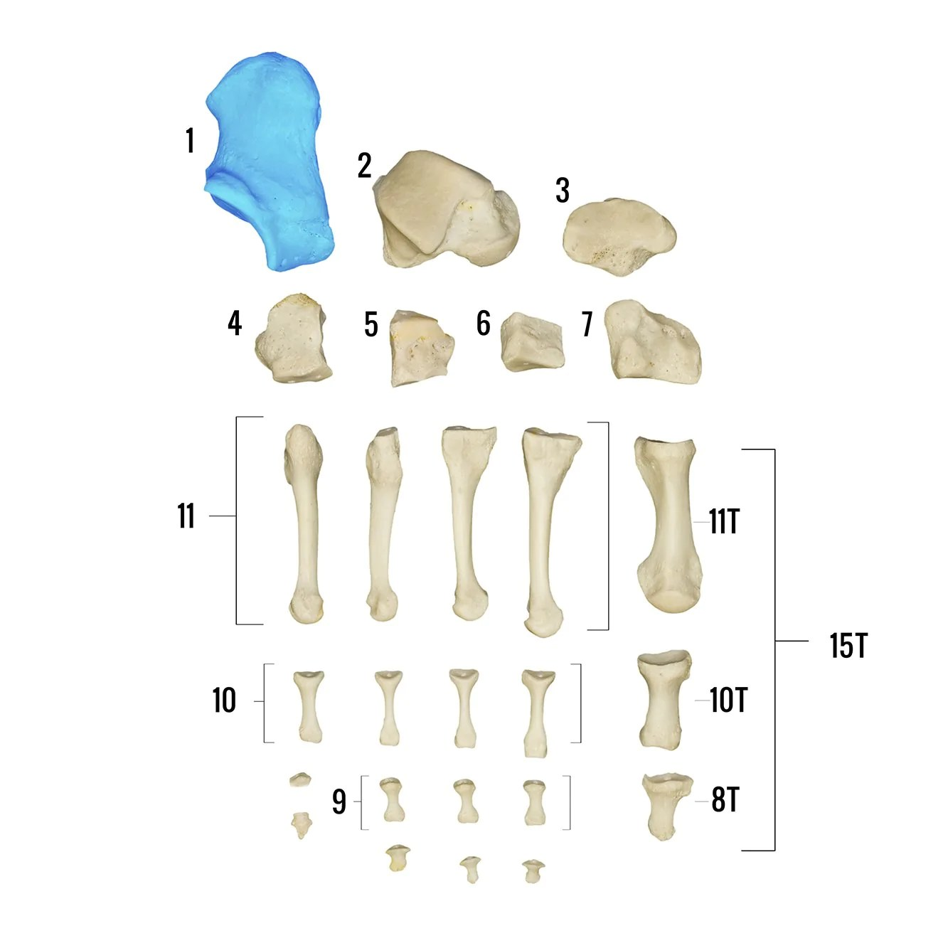 medium resolution of real human foot individual bones for sale skulls unlimited international inc