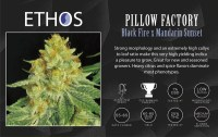 Pillow Factory Cannabis Seeds - Ethos Genetics - Simply ...