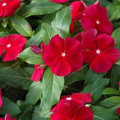 Vinca Pacifica XP Cranberry  Harris Seeds