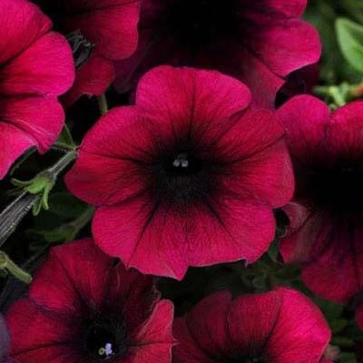 Petunia Easy Wave Velour Burgundy F1  Harris Seeds