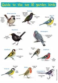 Handy Guide to the UKs Top 10 Garden Birds