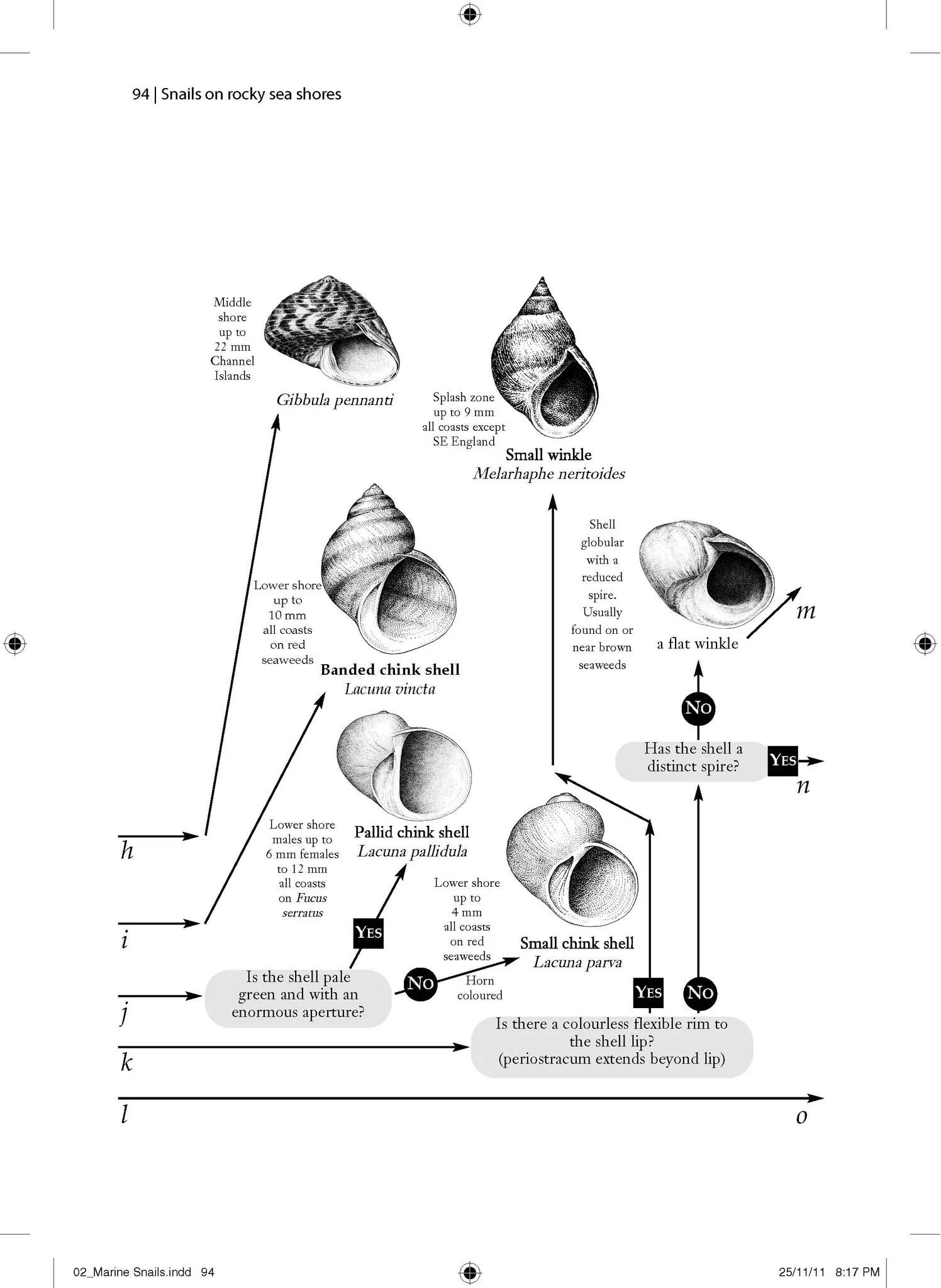 hight resolution of  snails on rocky sea shores pelagic publishing