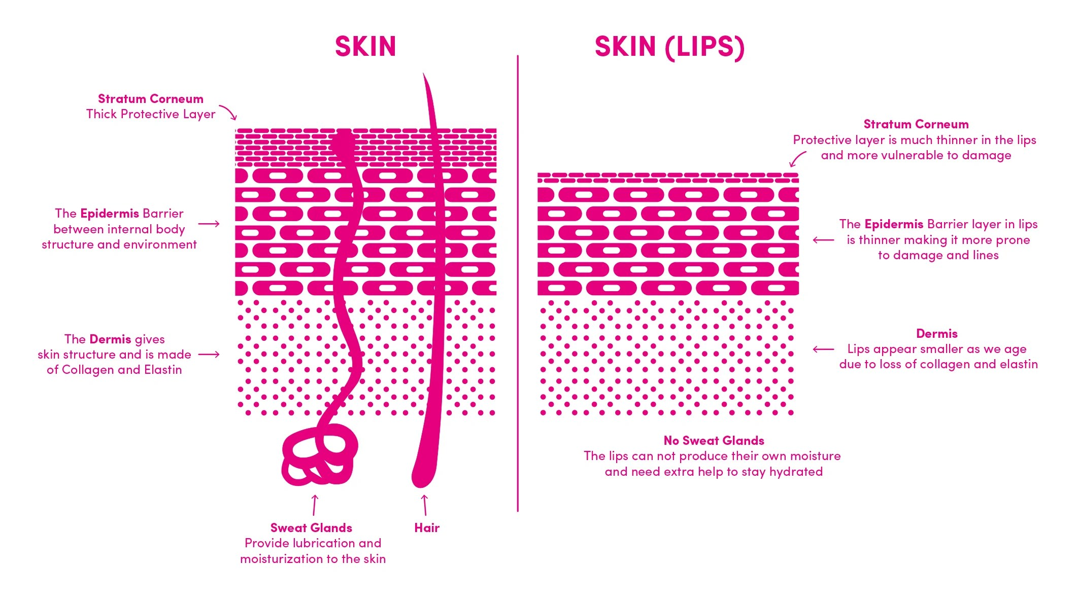 medium resolution of no other part of our body shares the same skin structure as our lips although all skin is composed of three main layers the same three layers are