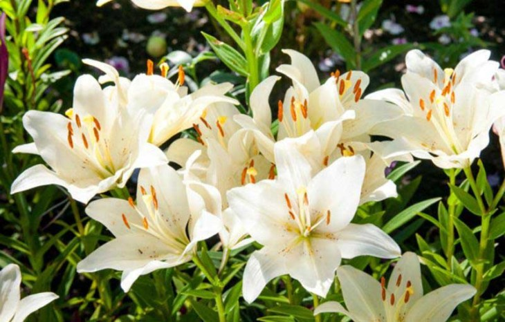 Image result for bunga lily