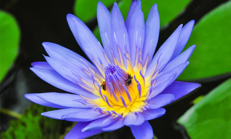 Skincare Benefits of Blue Lotus Flower