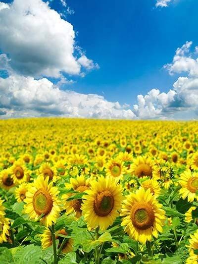 Free Fall Flower Desktop Wallpaper Buy Discount Kate Sunflower Yellow Flower Sea Photo Sky