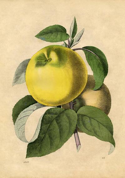 apple art print vintage