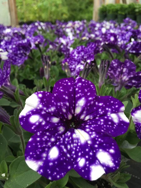 Petunia Night Sky Horlings Plants
