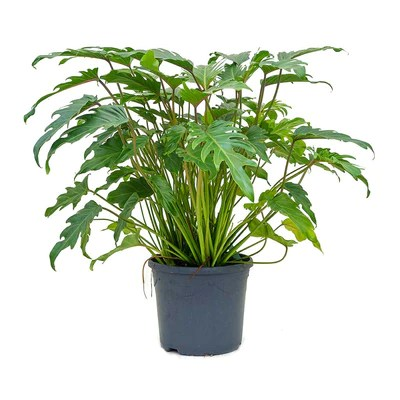 Philodendron Winterbourn  Xanadu Philodendron  Hortology