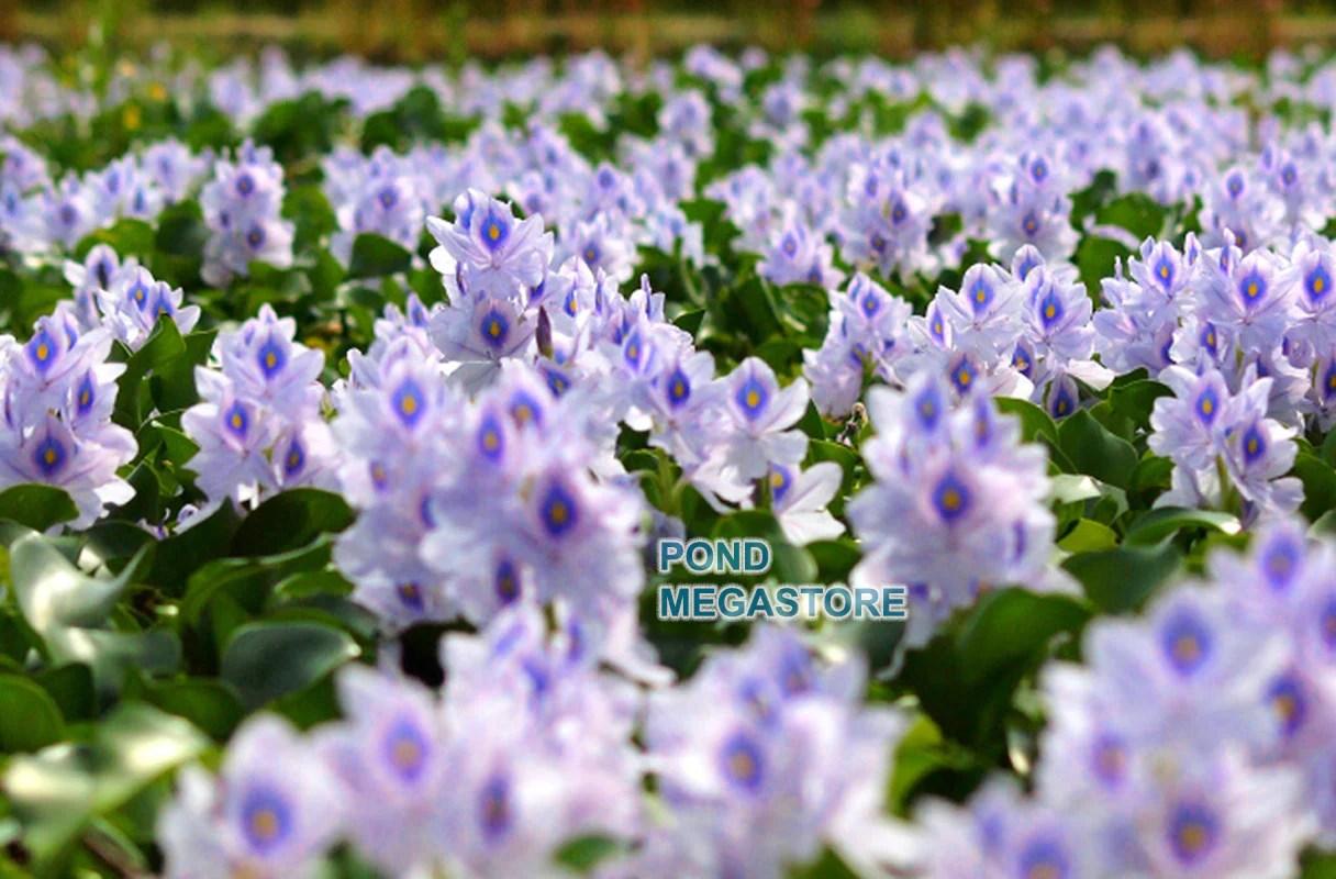 water hyacinth eichornia crassipies