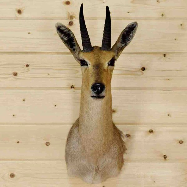 Best Small African Animal Taxidermy Mounts Safariworks