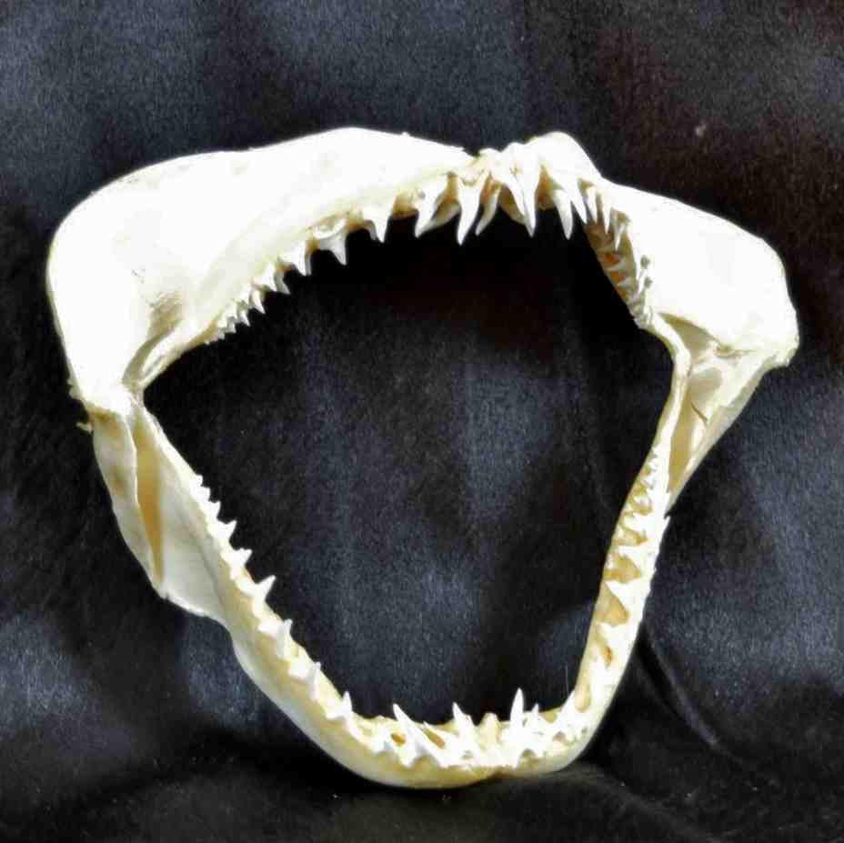 Maco Shark Jaw - Sw4238 Safariworks