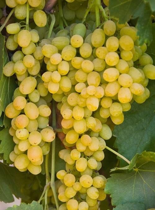 Summer Muscat Seedless Grape – Ricardo's Nursery