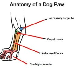 Dog Bone Diagram Rabbit Heart Anatomy Mobility Health The Bones Of Joint Carpal Joints Can Be Exceptionally Negative For Seriously Limiting Standing Capacities And Lateral Locomotion