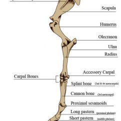 Front Leg Ligament Diagram Led Light Bar Wiring With Relay Horse Anatomy Mobility Health Each Hind Limb Of The Runs From Pelvis To Navicular Bone Bones And Joints In Between Include