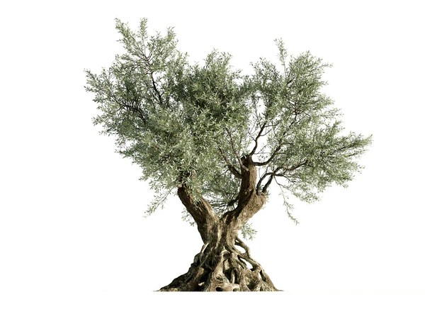 Olive Tree Nouvelle Mesure Lab