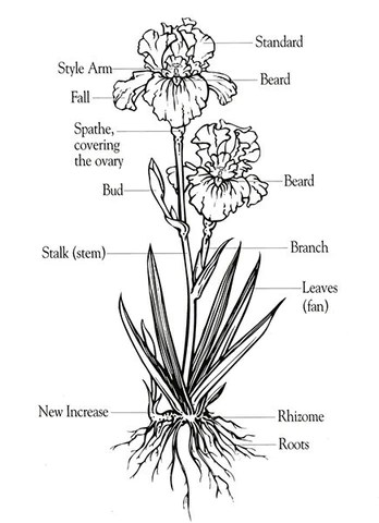 parts of a flower diagram 2007 honda civic aftermarket radio wiring anatomy bearded iris sunshine nursery an