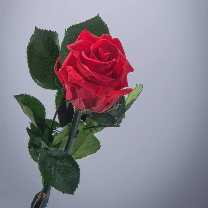 magic roses magic flower