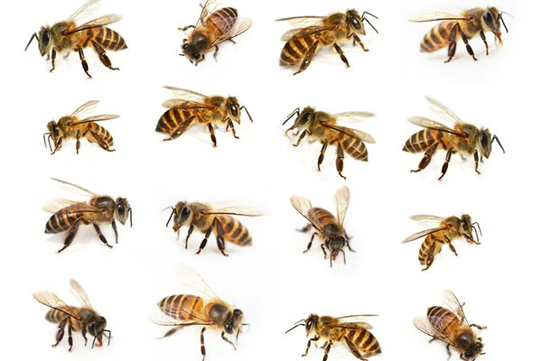 osbeehives types of bees