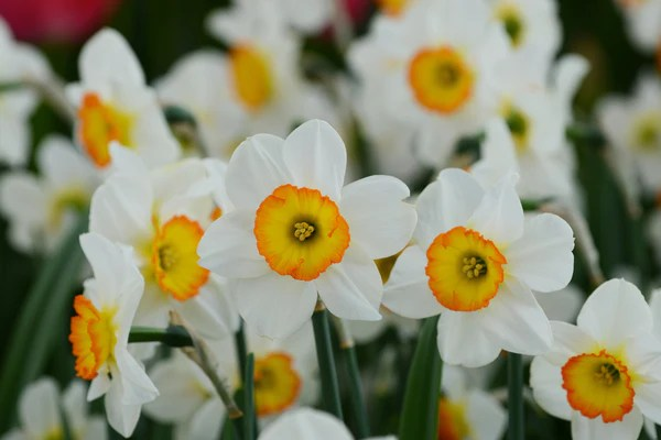 Fall Live Wallpapers For Windows 7 Daffodil Flower Record Landscaper Special Dutchgrown