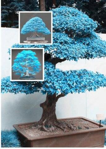 Blue Maple Tree : maple, Japanese, Maple, Trees, Fiction?