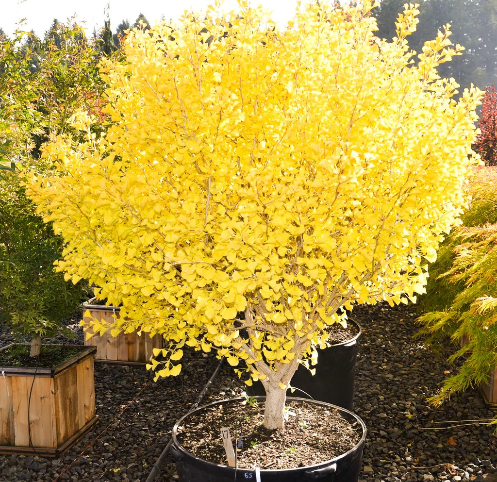 Buy Ginkgo Biloba Chi Chi Ginkgo Tree Mr Maple Buy