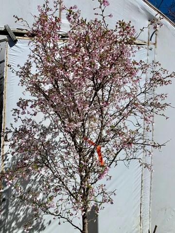 Prunus Kojo No Mai : prunus, Prunus, Incisa, 'Kojo, Twisting, Cherry, Maple, Japanese, Trees