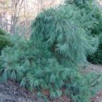 Buy Pinus Strobus Pendula Weeping White Pine Mr Maple Buy Japanese Maple Trees