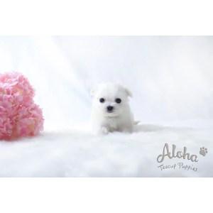 Favorite And Female Free Teacup Maltese Puppies Craigslist