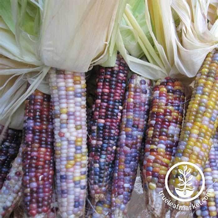 Glass Gem Popcorn Seeds  NonGMO Ornamental Pop Corn