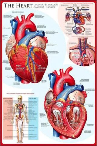 Anatomy of the human heart wall chart poster eurographics also  sports rh sportsposterwarehouse